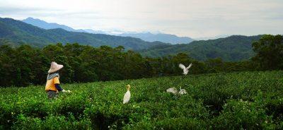 Tea Mountain: A Life Steeped in Gratitude