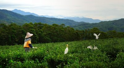 Tea Mountain: A Life Steeped in Gratitude